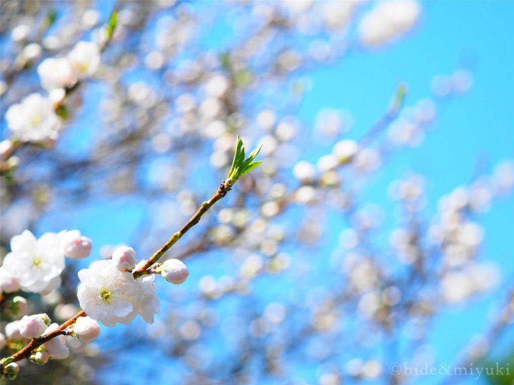 白い花桃(F2.8 62mm)