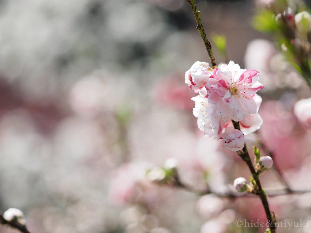 白とピンクの花桃アップ(F2.8 90mm)