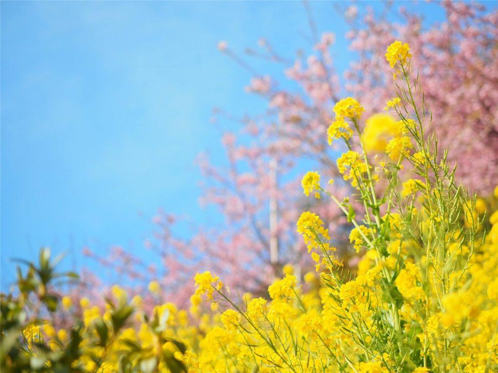 河津桜x菜の花のコラボを見られる「まつだ桜まつり」に行ってきたよ!@神奈川