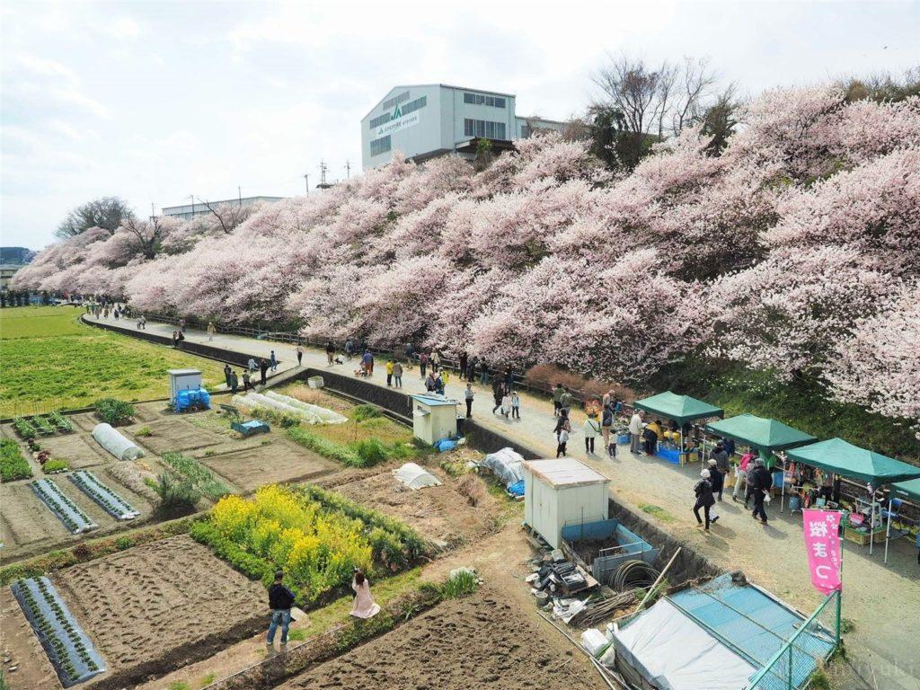 【神奈川の桜】一の堰ハラネ春めき桜まつりに行ってきたよ!【観光スポット】