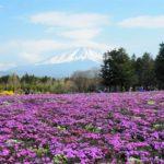 【絶景スポット】富士芝桜まつりはもう見頃!GW前は混雑が少なくてオススメです!【山梨】