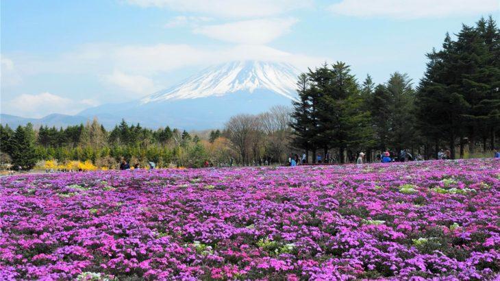 芝桜x富士山のコラボ!!