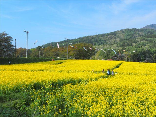 【長野の絶景】菜の花公園に行ってきました!鯉のぼりx菜の花が見れる素敵スポットです!GW観光にぴったり