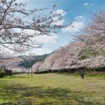 【静岡の桜スポット】『稲取高原桜回廊』絶景!だけど意外と人が少ない最高の桜スポットです!