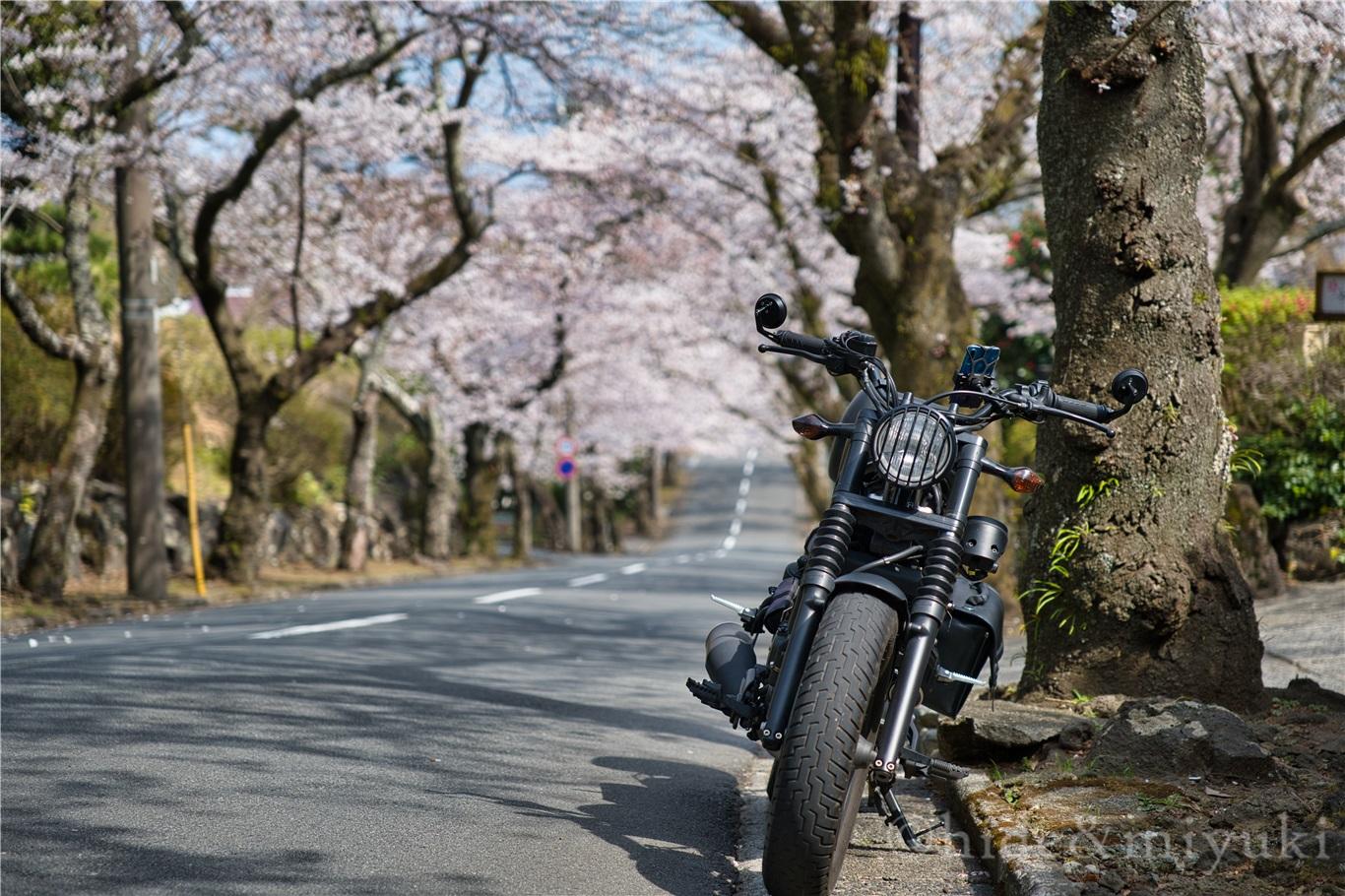 【静岡の桜スポット】『数キロに亘る絶景桜トンネル』伊豆高原桜並木が素晴らし過ぎた…